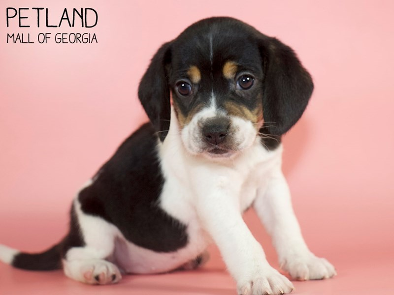 Beagle-Female-Black White / Tan-2879996-Petland Mall of Georgia