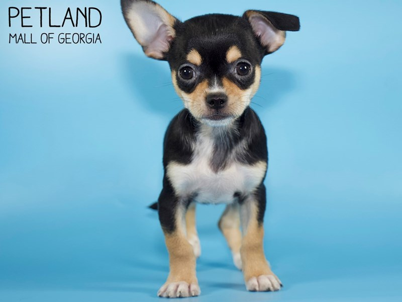 Chihuahua-DOG-Male-BLK TAN-2868730-Petland Mall of Georgia