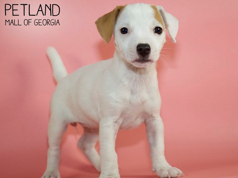 Jack Russell Terrier-Female-White-2879985-Petland Mall of Georgia