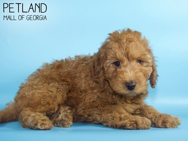 Miniature Goldendoodle 2nd Gen-Male-Red-2882568-Petland Mall of Georgia