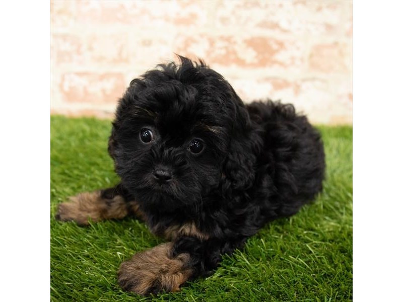Yorkiepoo-Female-Black / Tan-2892740-Petland Mall of Georgia