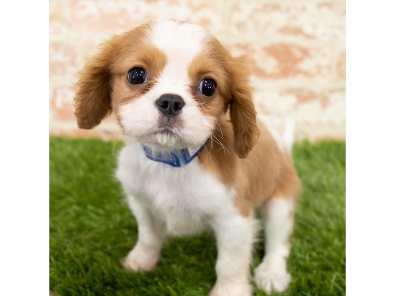 Cavalier King Charles Spaniel-Male-Blenheim-2892760-Petland Mall of Georgia