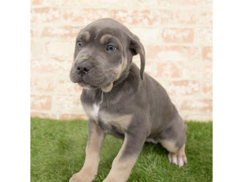 Cane Corso-Female-Blue-2892886-Petland Mall of Georgia