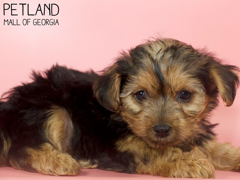 Morkie-Female-Black / Tan-2900363-Petland Mall of Georgia