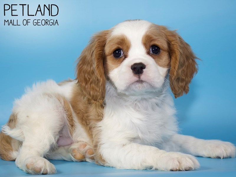 Cavalier King Charles Spaniel-Male-Blenheim-2907287-Petland Mall of Georgia