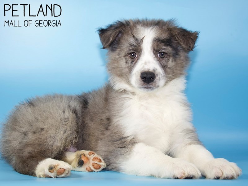 Australian Shepherd-Male-Blue Merle-2907284-Petland Mall of Georgia