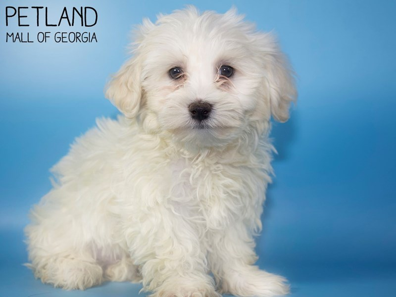 Maltichon-Male-WHITE-2903412-Petland Mall of Georgia