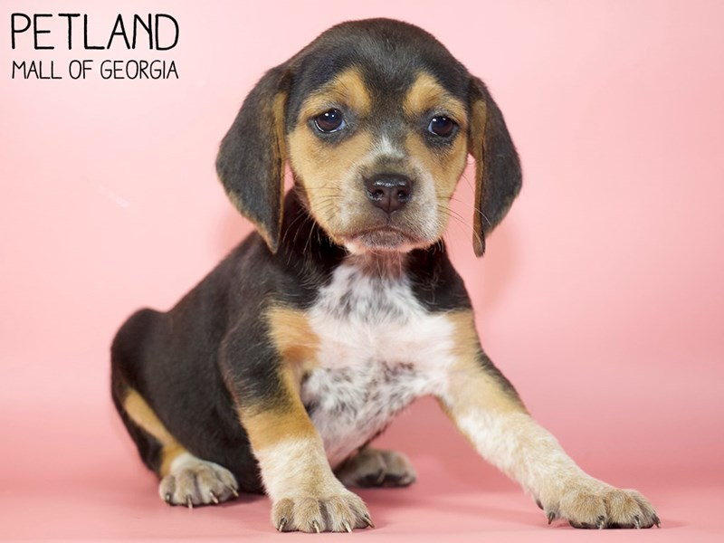 Beagle-Female-Black / Tan-2914433-Petland Mall of Georgia