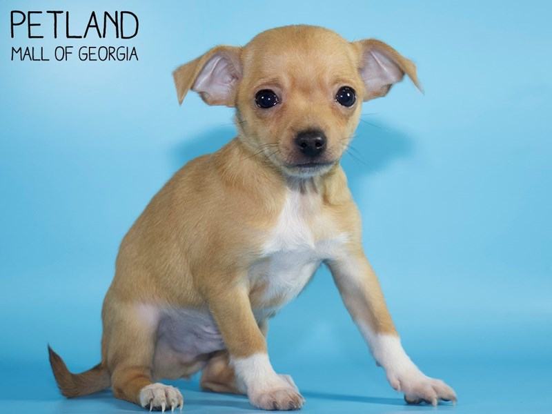 Chihuahua-Male-Fawn-2886134-Petland Mall of Georgia