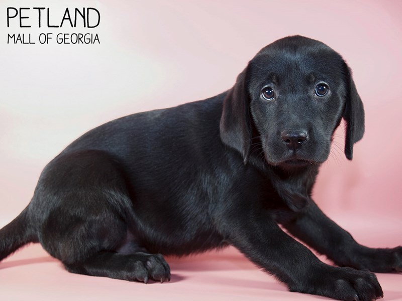 Labrador Retriever-Female-Black-2896116-Petland Mall of Georgia