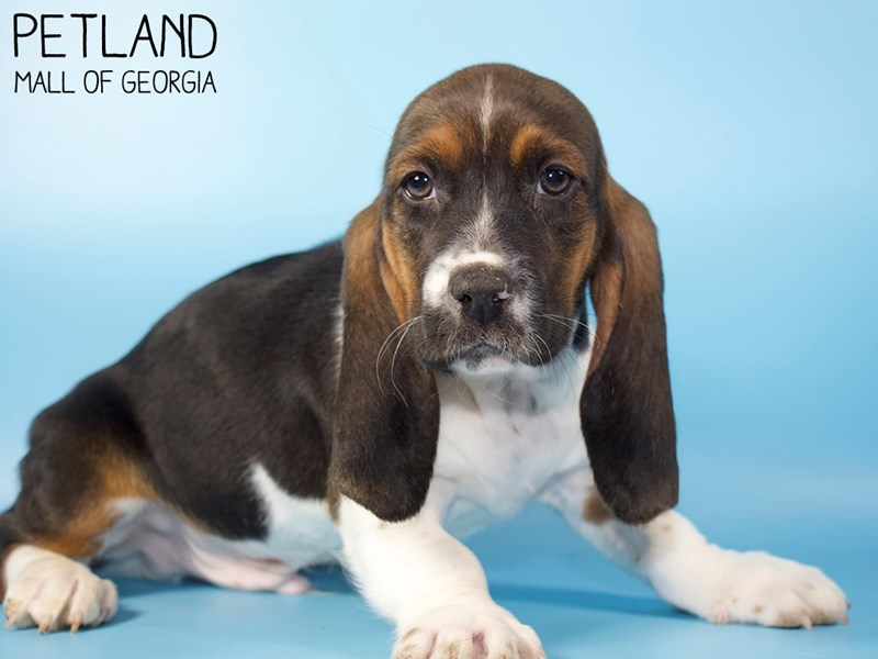 Basset Hound-Male-Black White / Tan-2907349-Petland Mall of Georgia