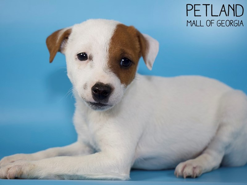 Jack Russell Terrier-Male-White-2907275-Petland Mall of Georgia