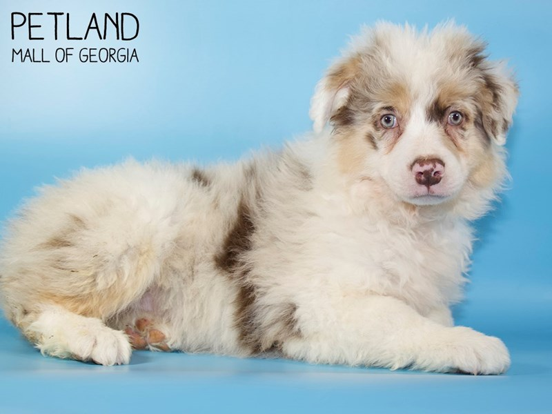 Australian Shepherd-Male-Red Merle-2921714-Petland Mall of Georgia
