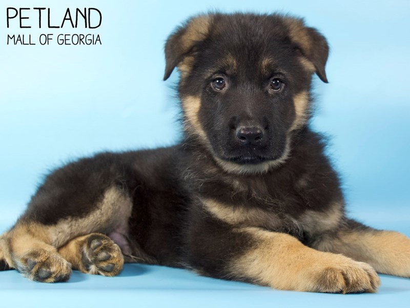 German Shepherd Dog-Male-Black / Tan-2928604-Petland Mall of Georgia