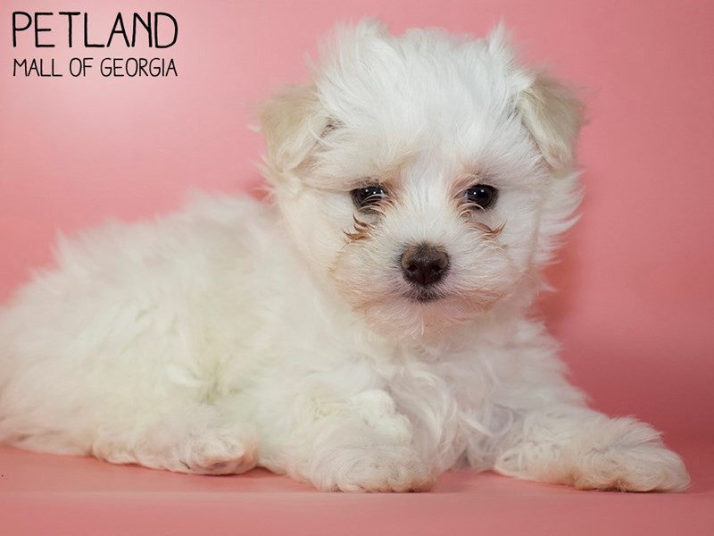 Maltese-Female-white-2925089-Petland Mall of Georgia