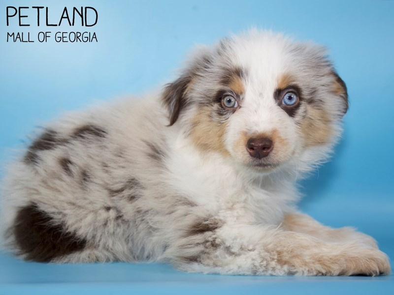 Australian Shepherd-Male-Blue Merle-2924902-Petland Mall of Georgia
