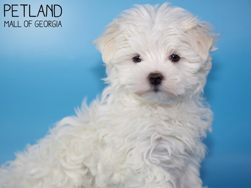 Maltese-Male-White-2937212-Petland Mall of Georgia