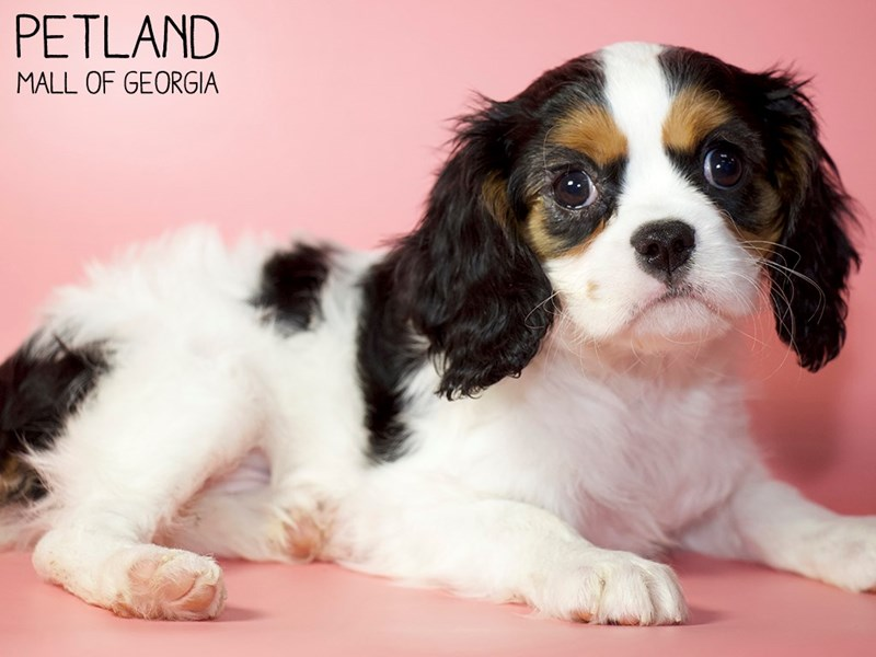 Cavalier King Charles Spaniel-Female-tri-2932658-Petland Mall of Georgia