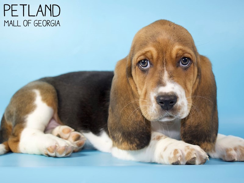 Basset Hound-Male-Black White / Tan-2928613-Petland Mall of Georgia