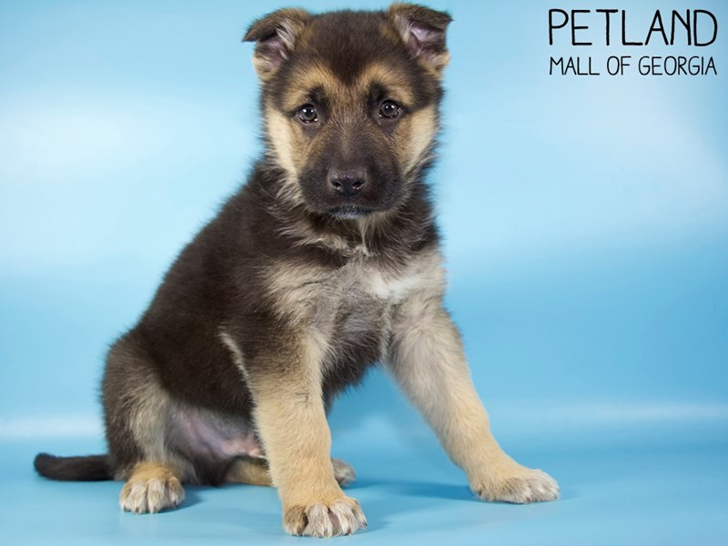 German Shepherd Dog-Male-Black / Tan-2951380-Petland Mall of Georgia