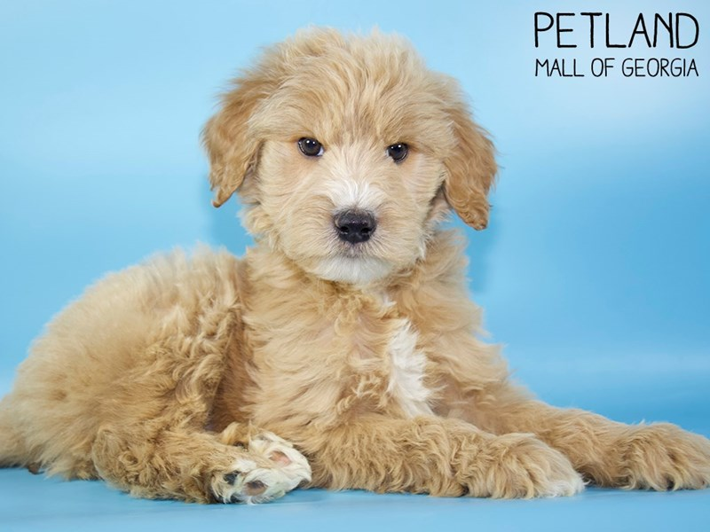Goldendoodle 2nd Gen-Male-Apricot-2951368-Petland Mall of Georgia