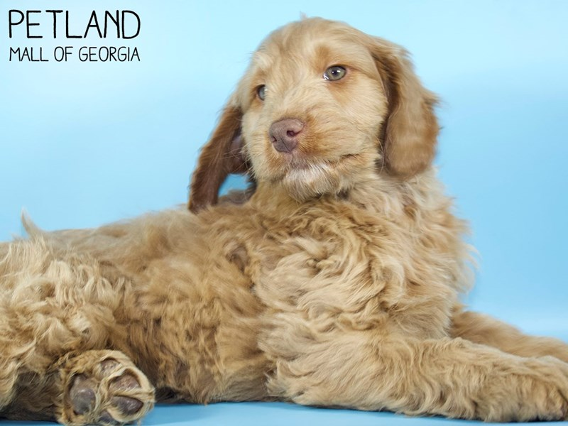 Miniature Goldendoodle 2nd Gen-Male-Red-2951358-Petland Mall of Georgia