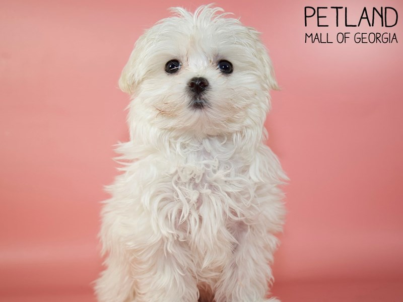 Maltese-Female-White-2951292-Petland Mall of Georgia