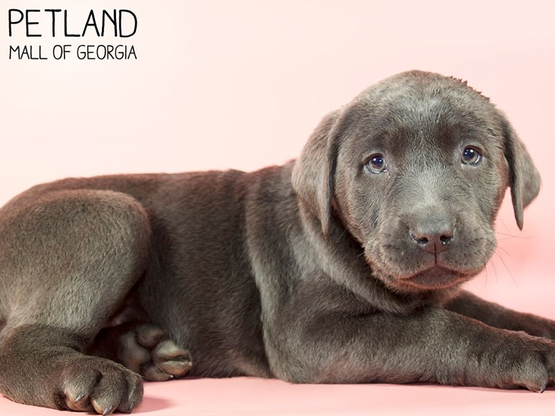 Labrador Retriever-Female-Silver-2951285-Petland Mall of Georgia