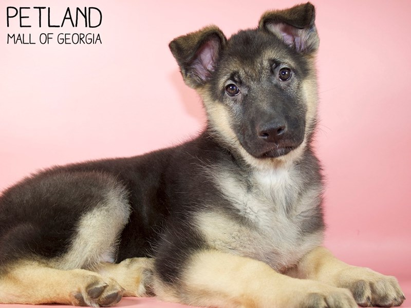 German Shepherd Dog-Female-Black / Tan-2959095-Petland Mall of Georgia