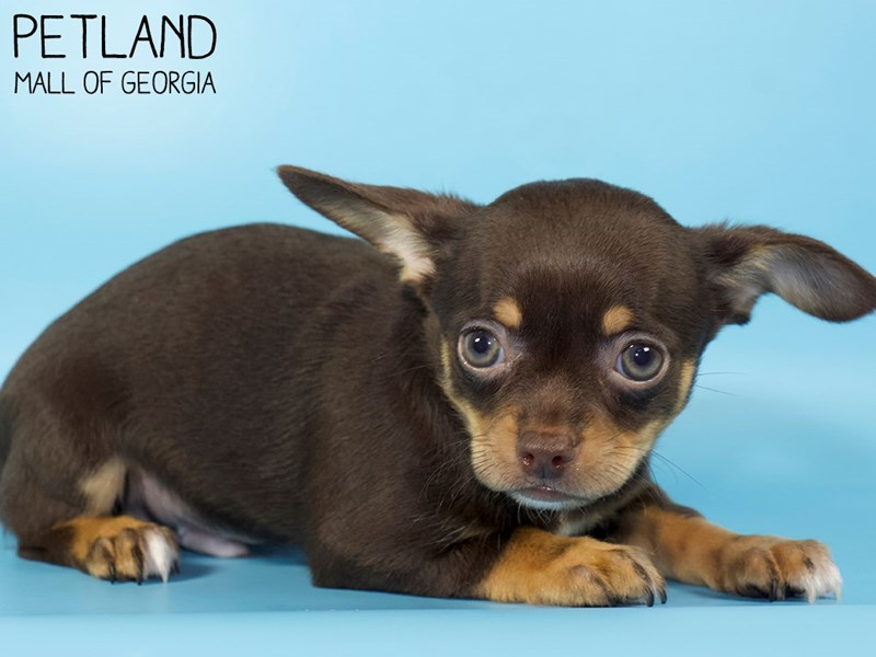 Chihuahua-Male-CHOC TAN-2954738-Petland Mall of Georgia