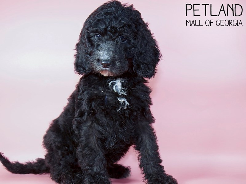 Goldendoodle-Female-Black with White spot-2963270-Petland Mall of Georgia
