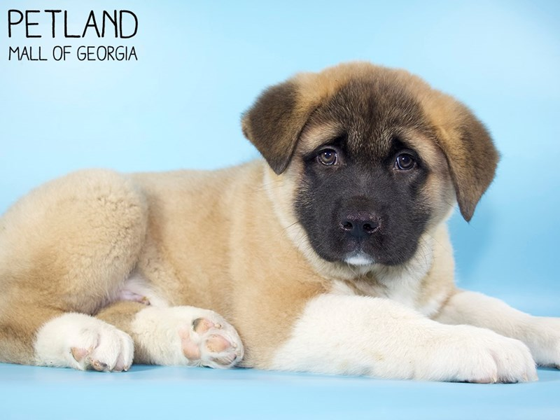 Akita-Male-Fawn-2975801-Petland Mall of Georgia