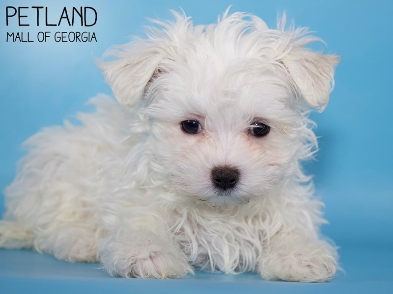 Maltese-Male-White-2975773-Petland Mall of Georgia