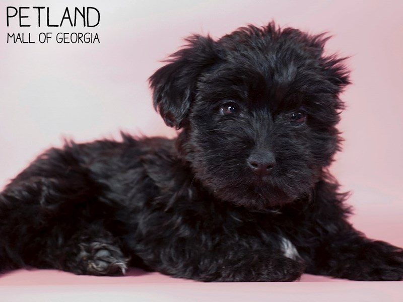 Yorkiepoo-Female-BLK WHITE-2971388-Petland Mall of Georgia