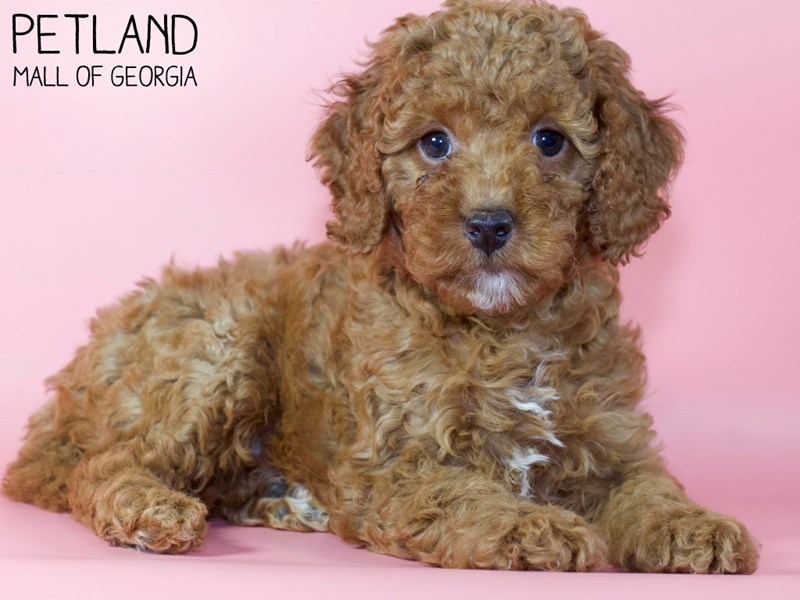 Miniature Goldendoodle 2nd Gen-Female-Red-2971397-Petland Mall of Georgia