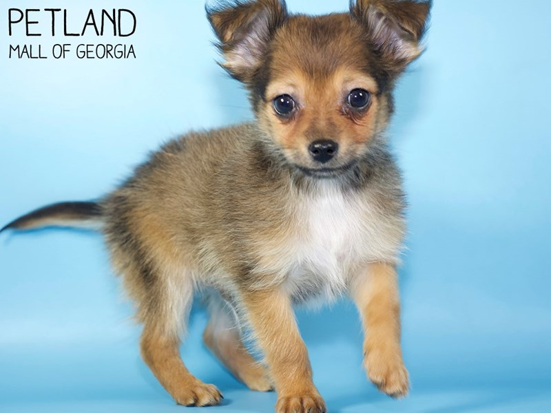 Chihuahua-Male-Fawn-2959146-Petland Mall of Georgia