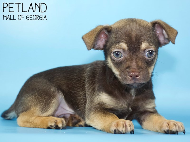 Chihuahua-Male-Black / Tan-2959118-Petland Mall of Georgia