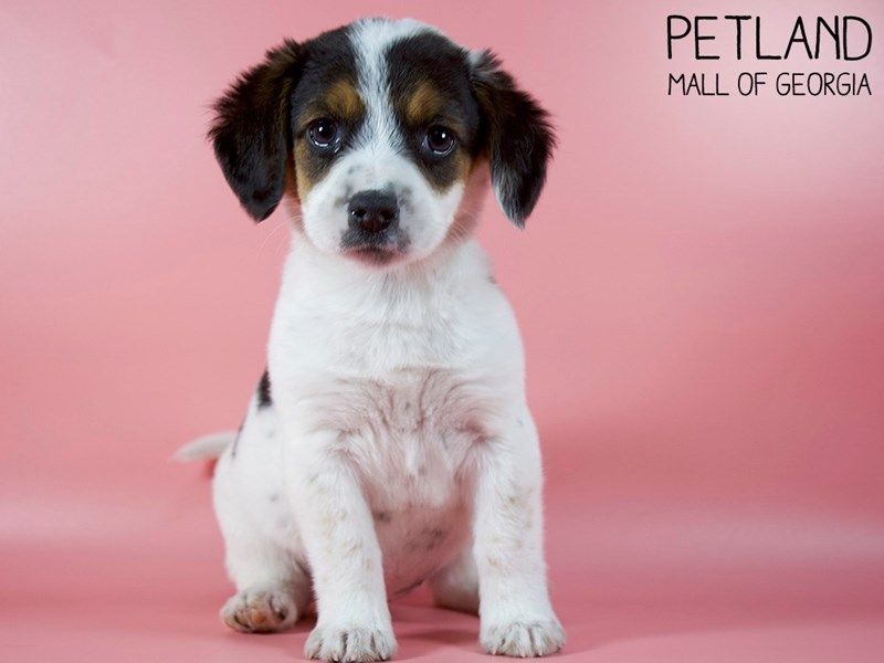 Beagle-Female-Black-2993203-Petland Mall of Georgia