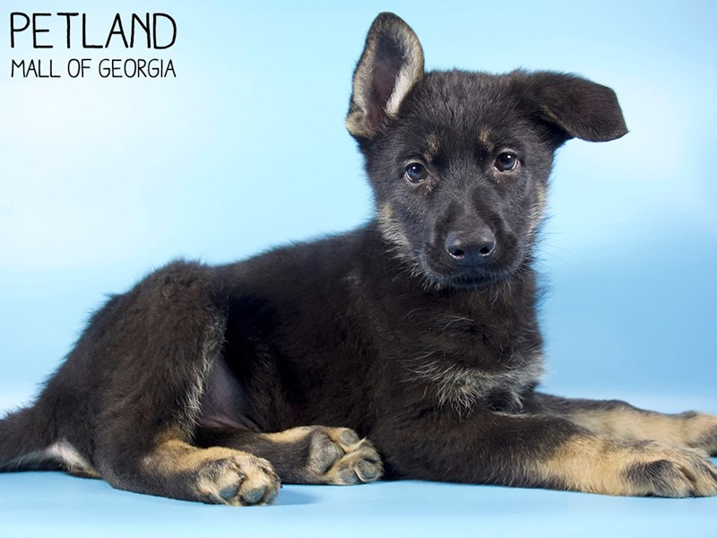 German Shepherd-Male-Black & Tan-2988206-Petland Mall of Georgia