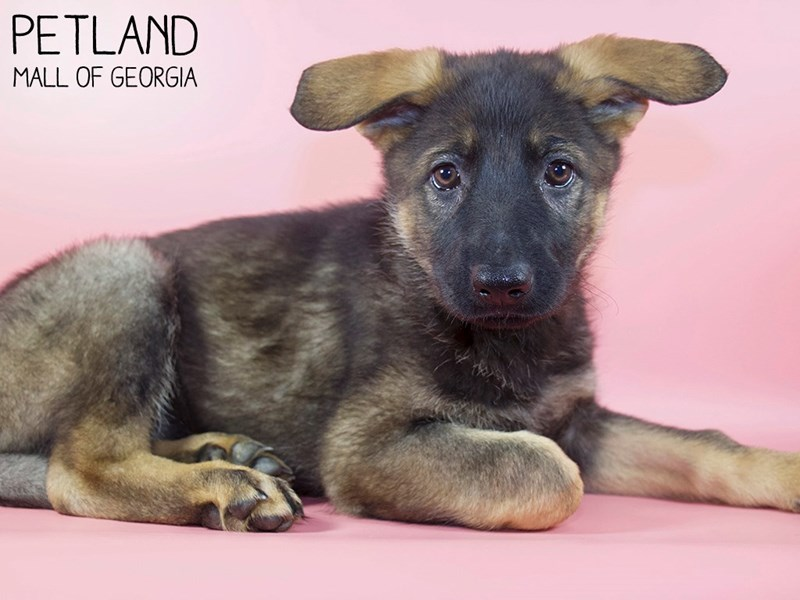 German Shepherd-Female-Sable-2988207-Petland Mall of Georgia