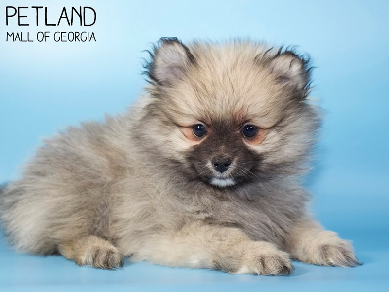 Pomeranian-Male-Wolf Sable-3015459-Petland Mall of Georgia