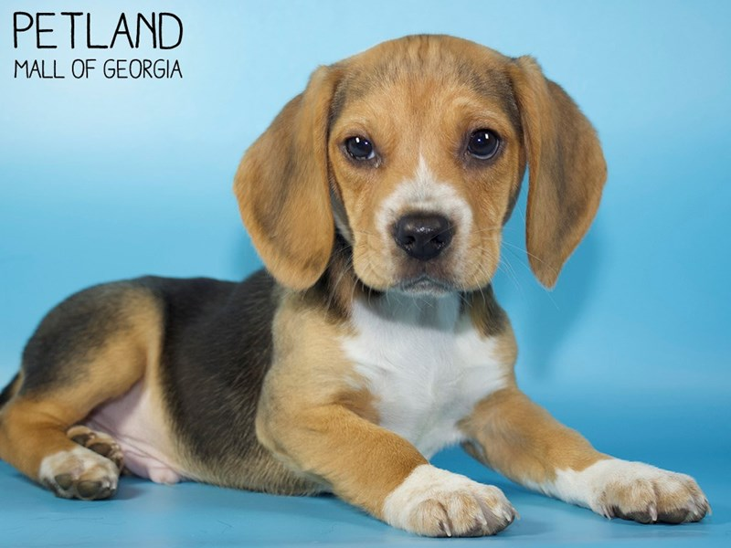 Beagle-Male-Black White / Tan-3015468-Petland Mall of Georgia