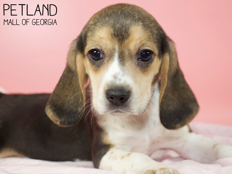 Beagle-Female-Black White / Tan-3025336-Petland Mall of Georgia