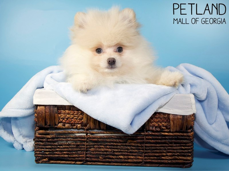 Pomeranian-Male-Cream-3045021-Petland Mall of Georgia