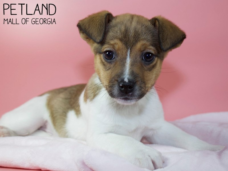 Jack Russell Terrier-Female-Red / White-3045013-Petland Mall of Georgia