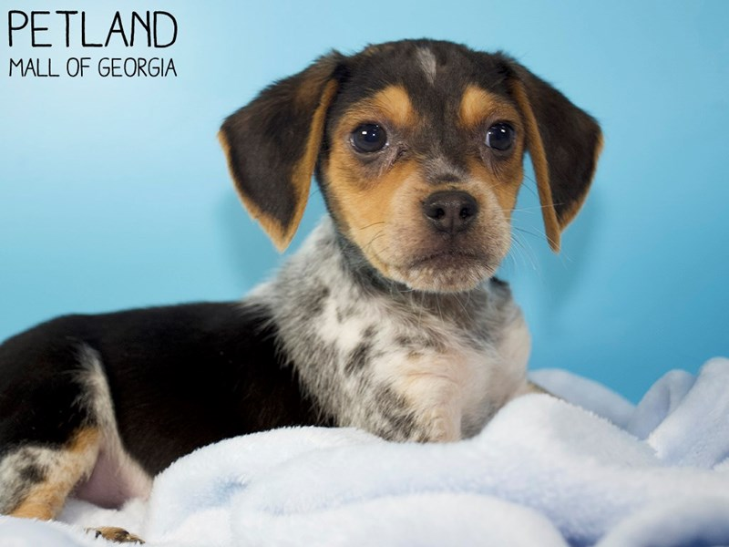 Beagle-Male-Black White / Tan-3045038-Petland Mall of Georgia