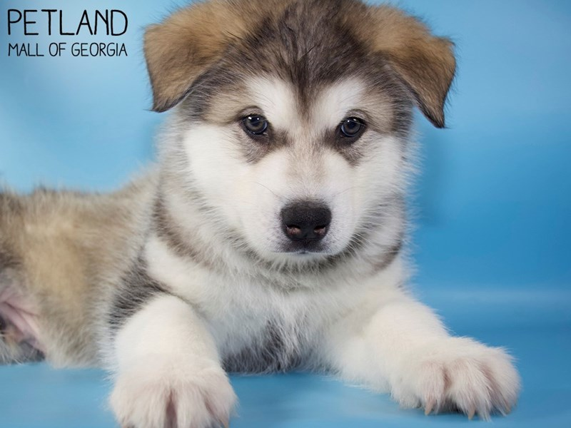 Alaskan Malamute-Male-Sable / White-3066798-Petland Mall of Georgia