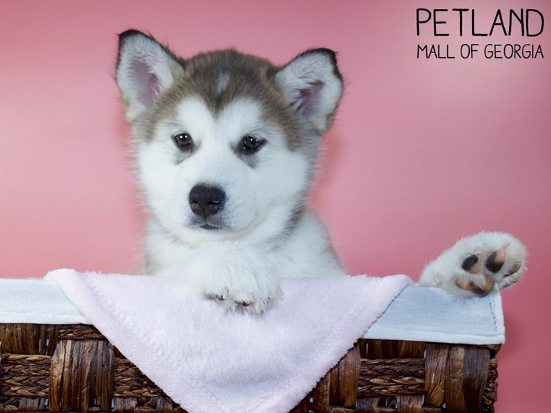 Alaskan Malamute-Female-Sable / White-3066797-Petland Mall of Georgia