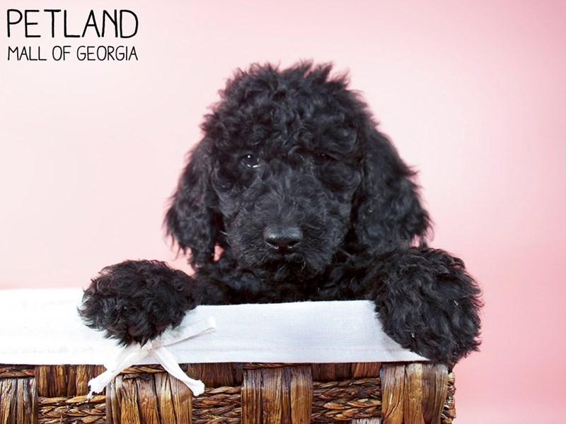 Goldendoodle 2nd Gen-Female-Black-3066789-Petland Mall of Georgia