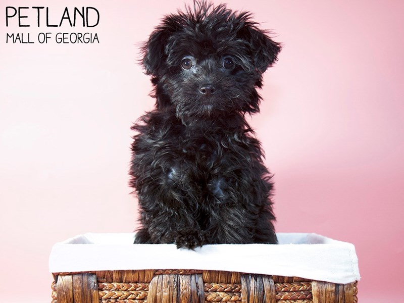 Yorkiepoo-Female-Black-3077738-Petland Mall of Georgia